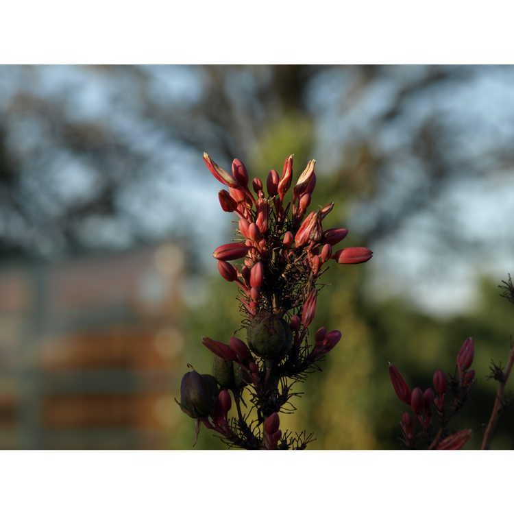 Hesperaloe campanulata - bell flower hesperaloe