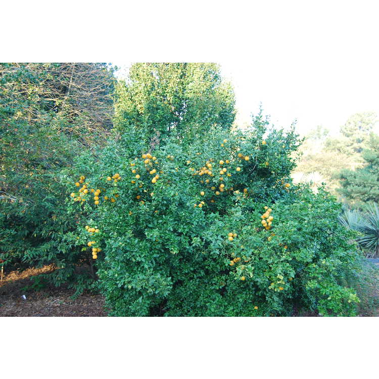 Poncirus trifoliata 'Flying Dragon' - contorted hardy orange