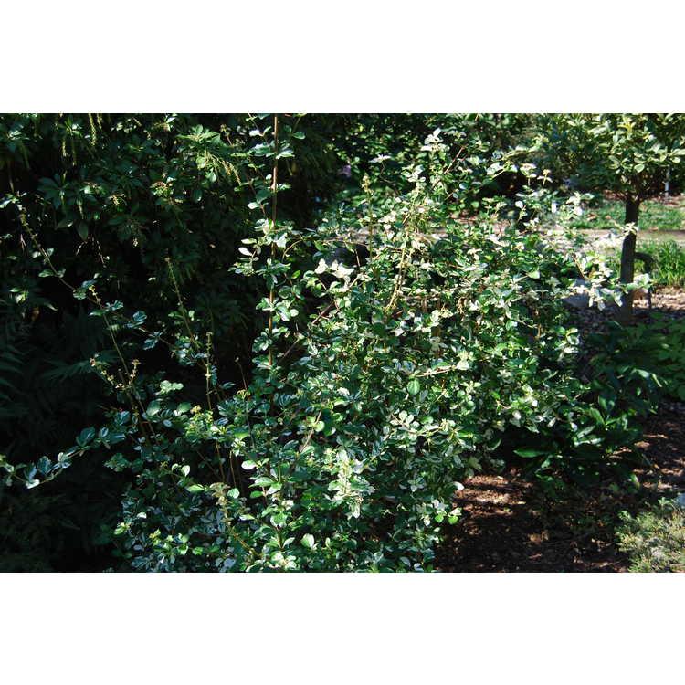 Viburnum foetidum (variegated)