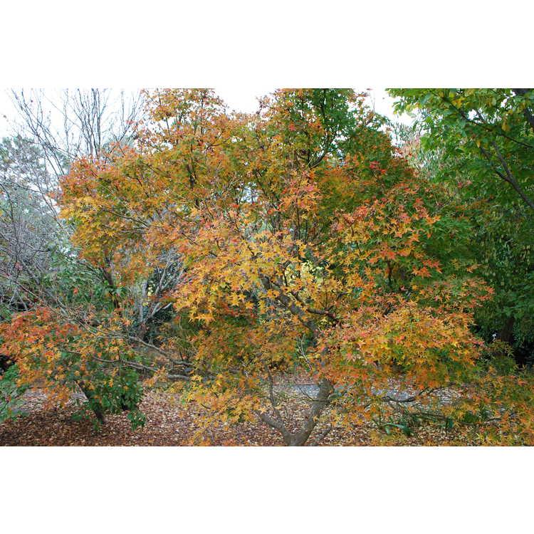 Acer palmatum 'Wabito'
