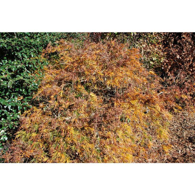 Acer palmatum 'Waterfall'
