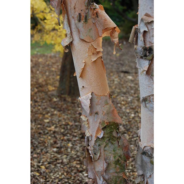 Betula nigra 'Studetec' - Tecumseh Compact compact river birch