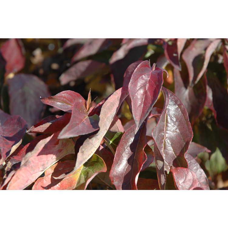 Cornus florida 'Pygmaea'