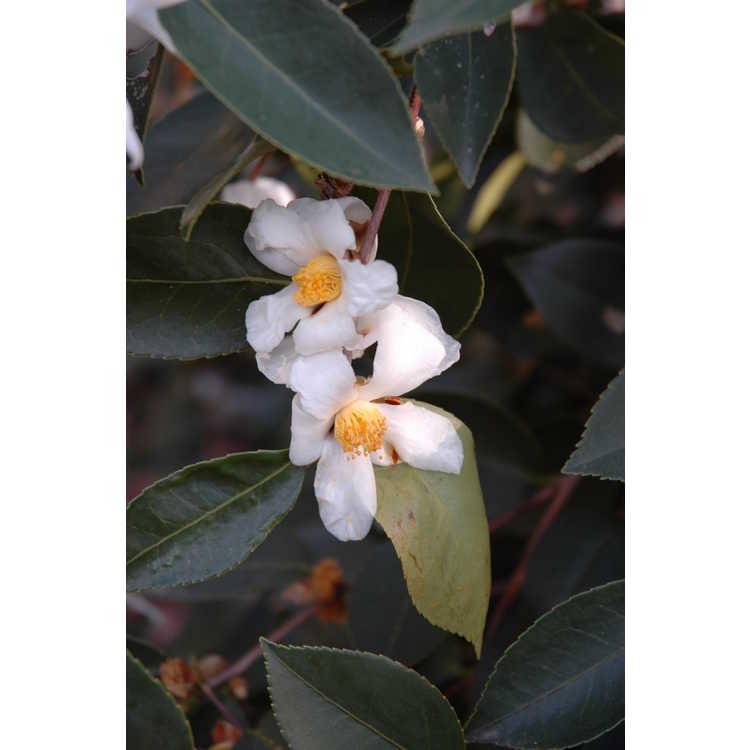 Camellia oleifera hybrid, weeping