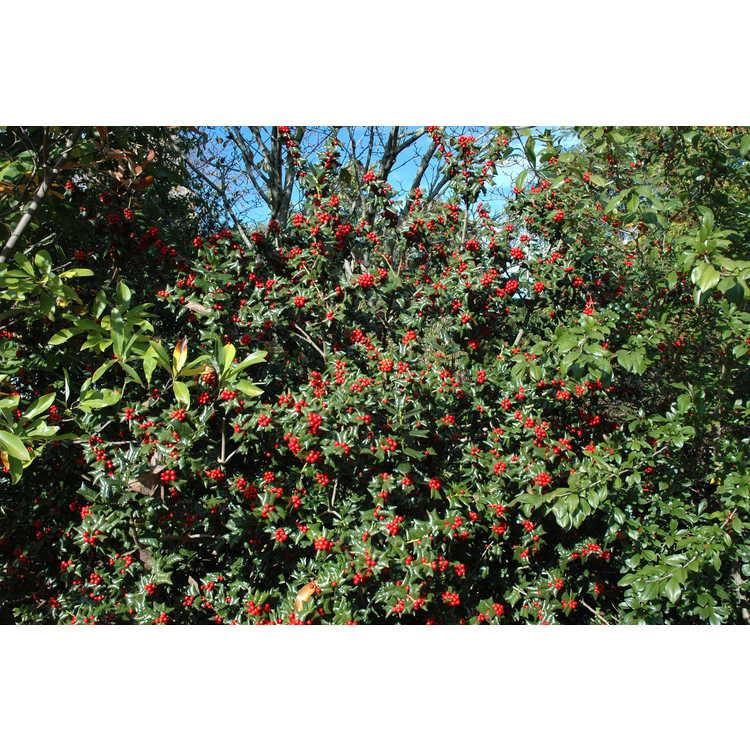 Ilex cornuta 'Autumn Fire' - early-fruiting Chinese holly