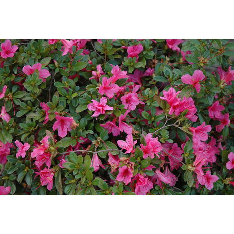 Rhododendron Conlef Autumn Cheer