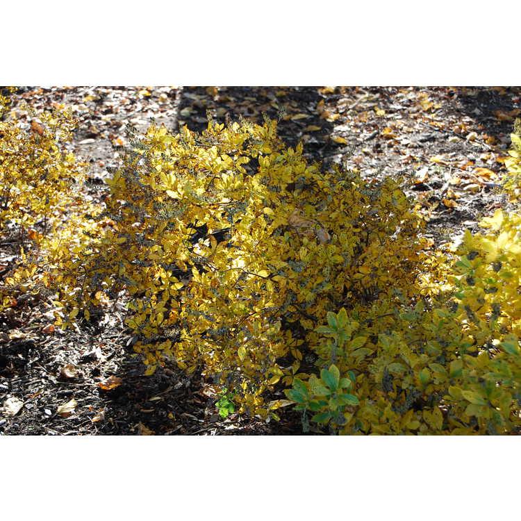 Clethra alnifolia 'Sixteen Candles'