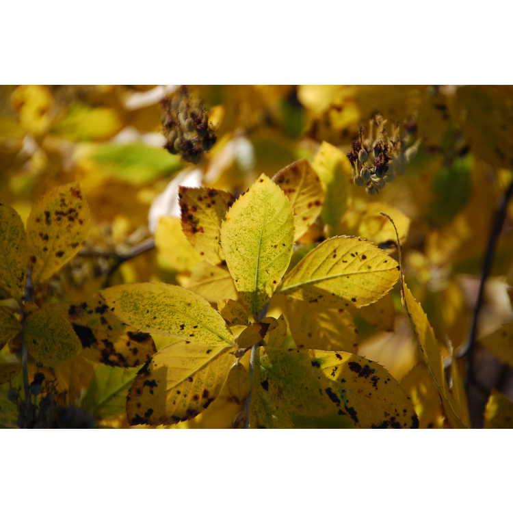 Clethra-alnifolia-Sixteen-Candles-003-Raleigh-11-7-08.JPG