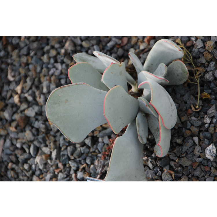 Cotyledon-orbiculata-var-oblonga-002-JCRA-11-17-08.JPG