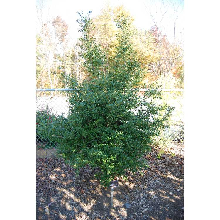 Ilex 'Coned' - Little Red red holly