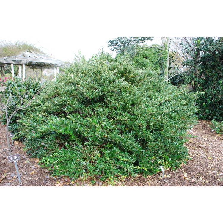 Ligustrum japonicum 'East Bay'