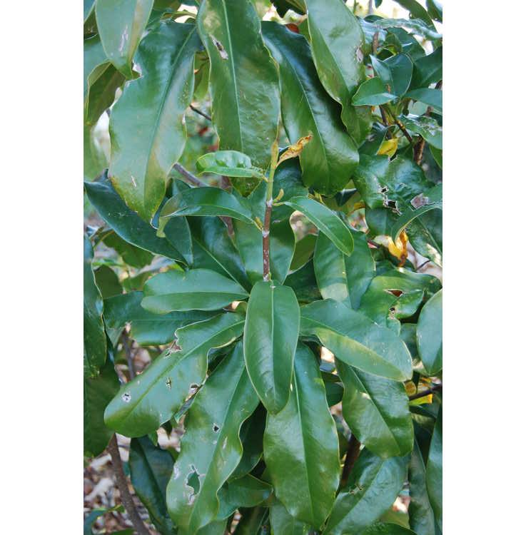Magnolia fordiana