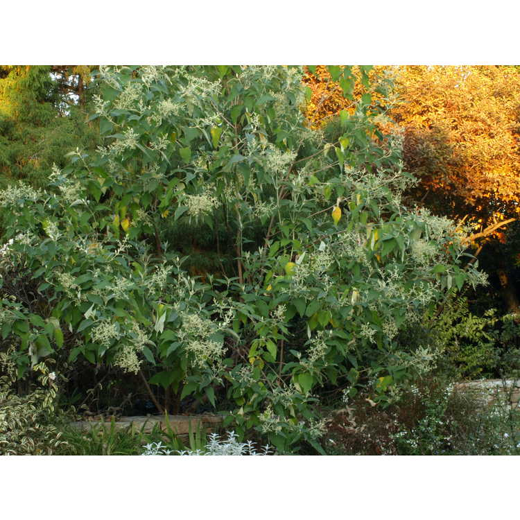Buddleja cordata - Mexican butterfly-bush
