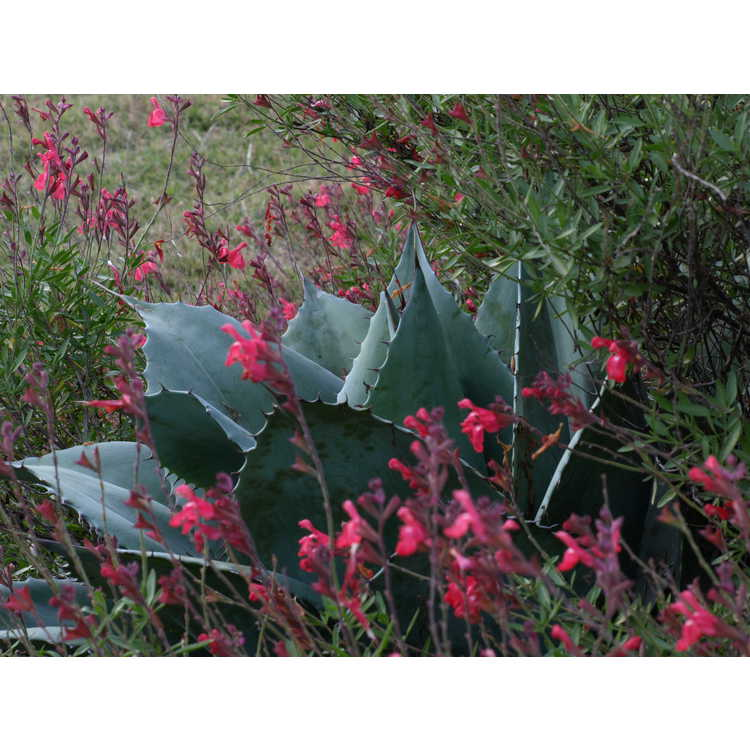 Agave ovatifolia - whale's tongue agave