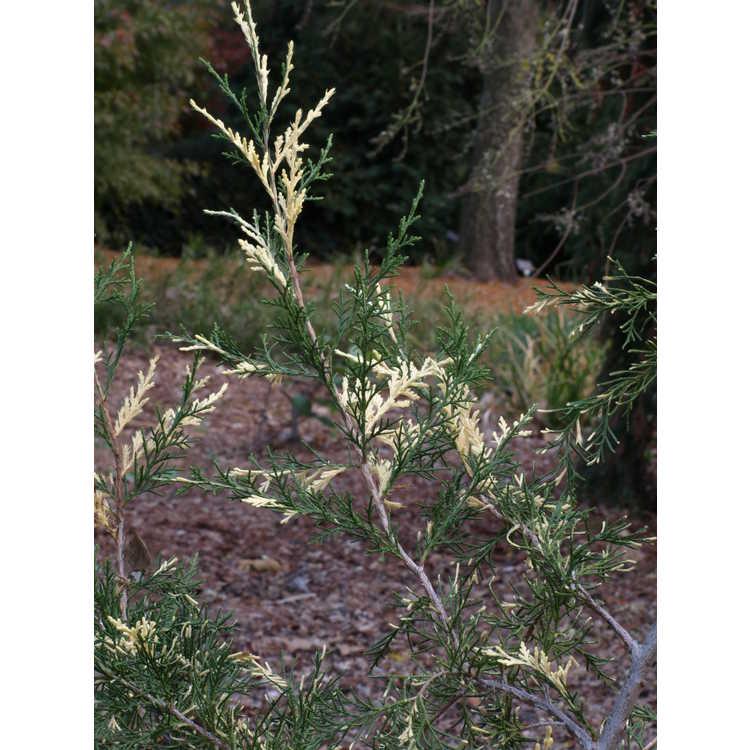 Juniperus virginiana (Wake Forest variegated)