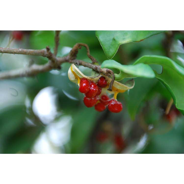 Pittosporum illicioides - anise-leaf pittosporum