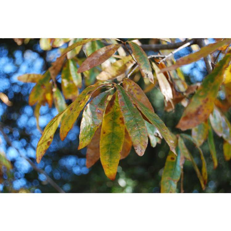 Quercus oglethorpensis