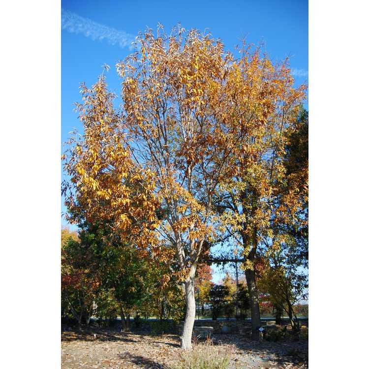 Quercus variabilis - Chinese cork oak
