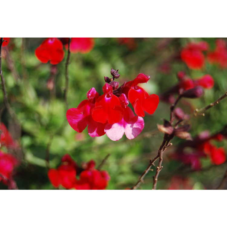 Salvia greggii 'Flame'