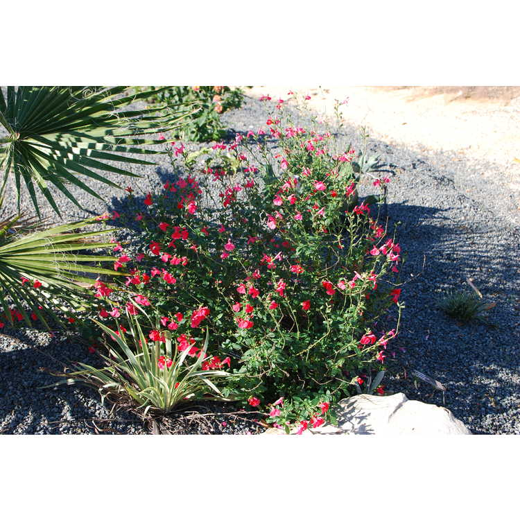 Salvia microphylla Zaragoza