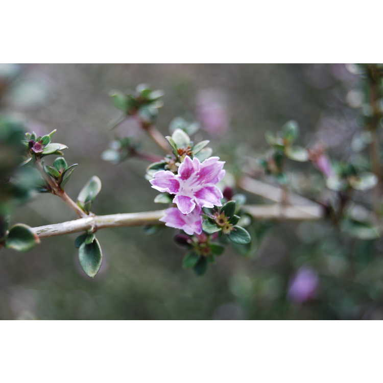 Serissa japonica 'Apple Blossom' - Japanese snow rose