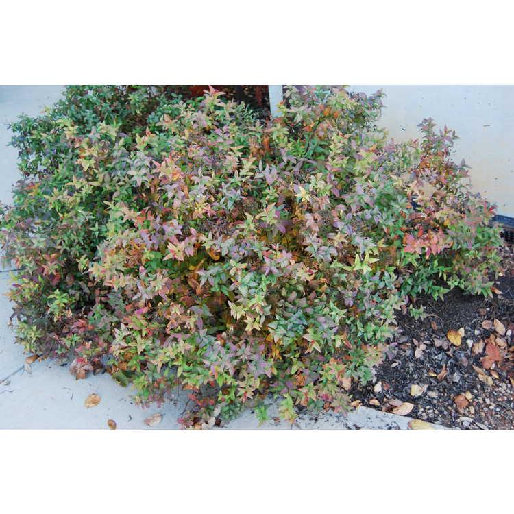 Spiraea japonica 'Flaming Mound' - Japanese spirea