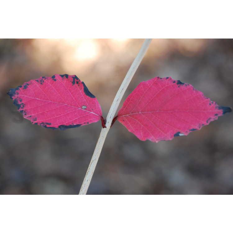 Viburnum phlebotrichum - little leaf viburnum