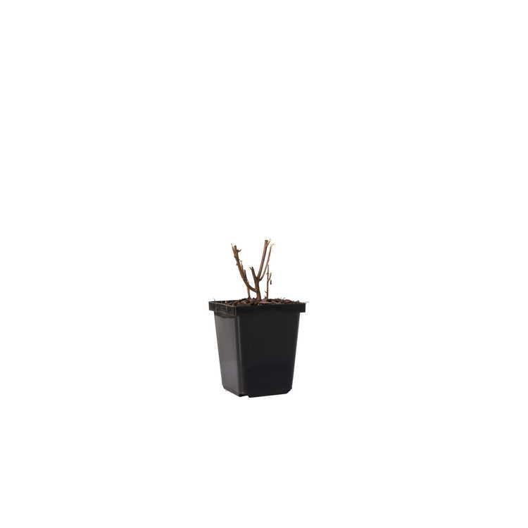 Clethra alnifolia 'Caleb'