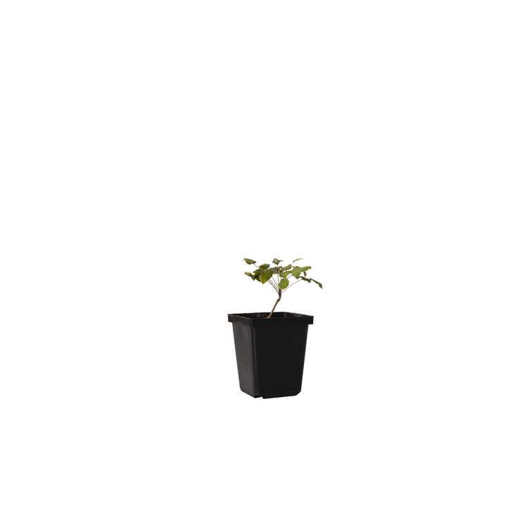 Mahonia pallida