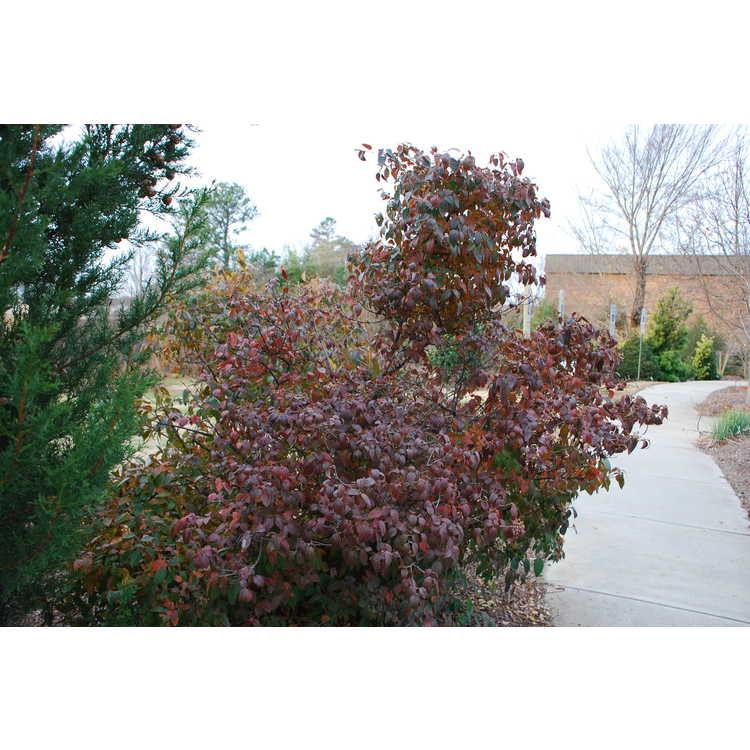 Viburnum luzonicum - Luzon viburnum