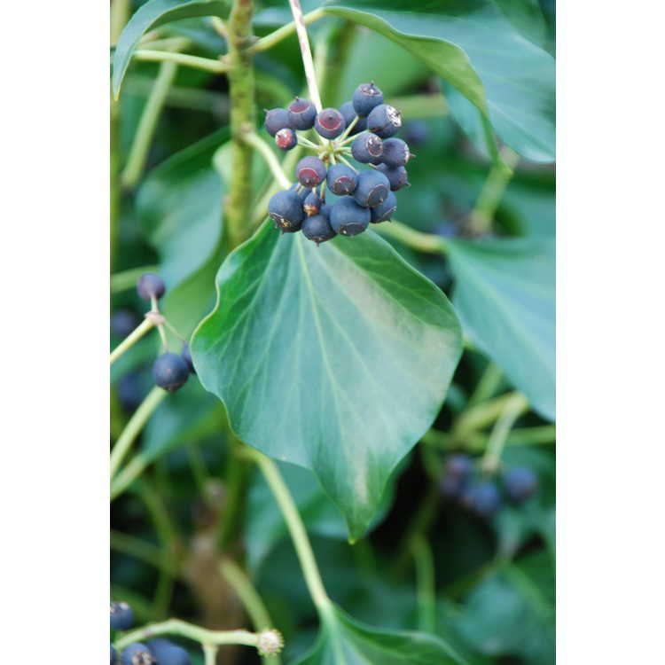 Hedera helix 'Prince Avenue' (adult form) - adult English ivy