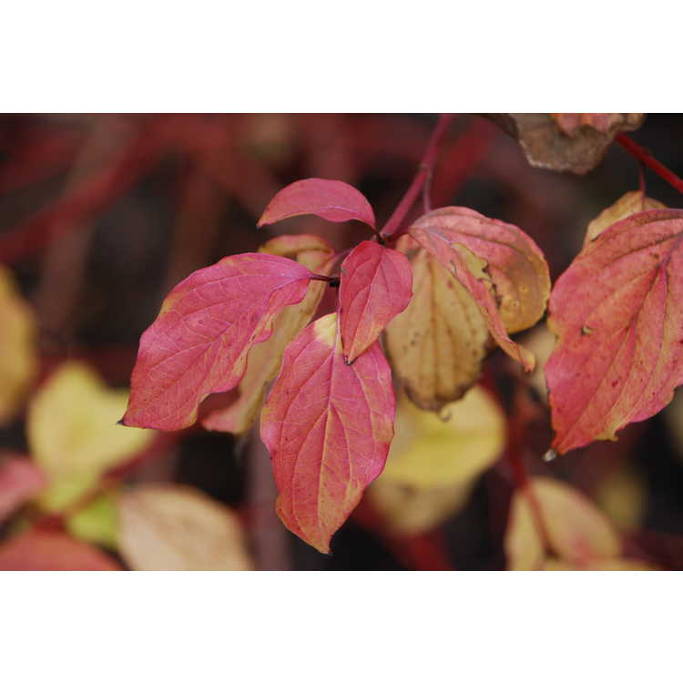 Cornus sanguinea 'Anny's Winter Orange' - bloodtwig dogwood