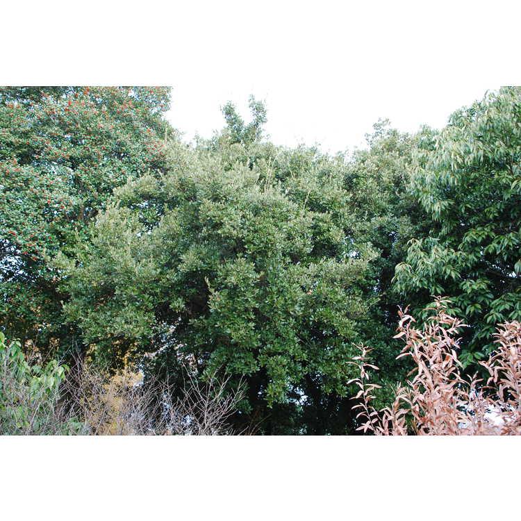 Quercus phillyreoides - Ubame oak