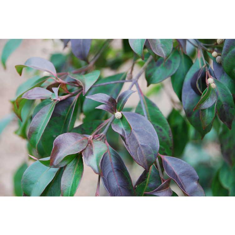 Cornus capitata subsp. emeiensis - Mt. Emei evergreen dogwood