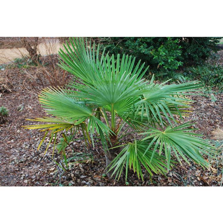 Trachycarpus fortunei 'Taylor's Hardy'