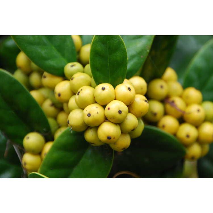 Ilex cornuta 'D'Or' - yellow-berry Chinese holly