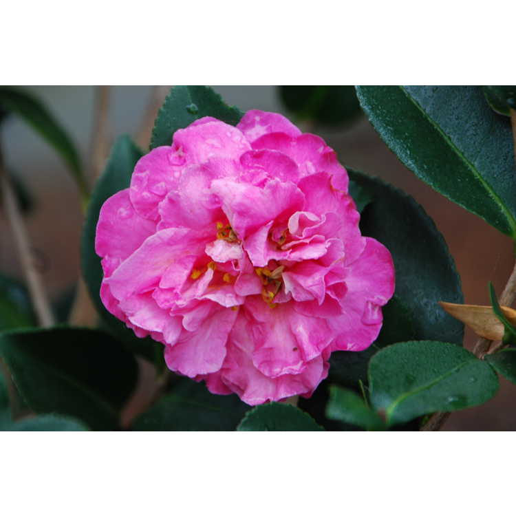 Camellia hiemalis Rose of Autumn