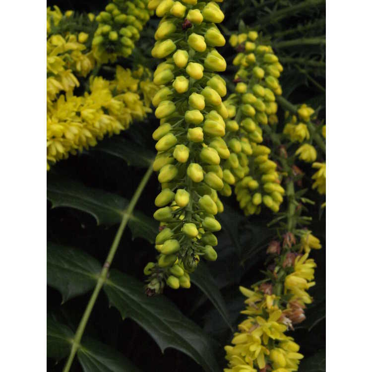 Mahonia ×media 'Hope' - grapeholly