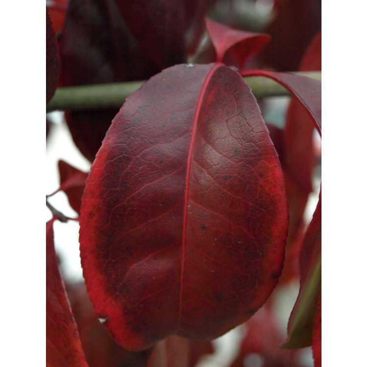 Euonymus carnosus - fleshy-flowered spindletree