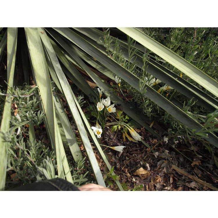 Crocus ochroleucus - autumn-flowering crocus