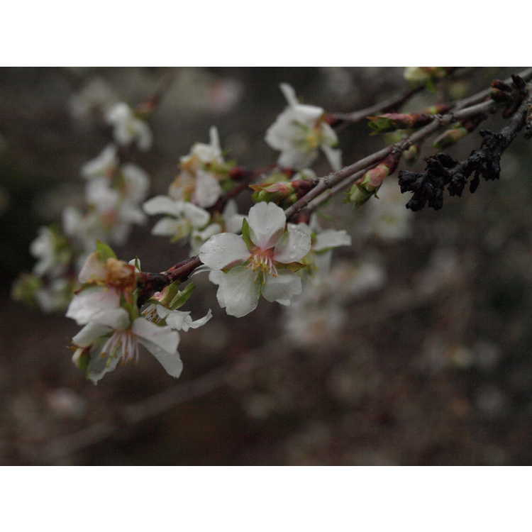Prunus incisa
