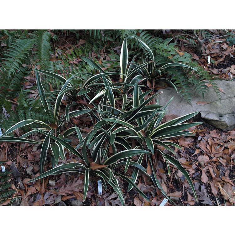 Rohdea japonica 'Fuji-no-yuki'