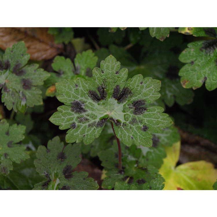 Geranium phaeum 'Samobor'