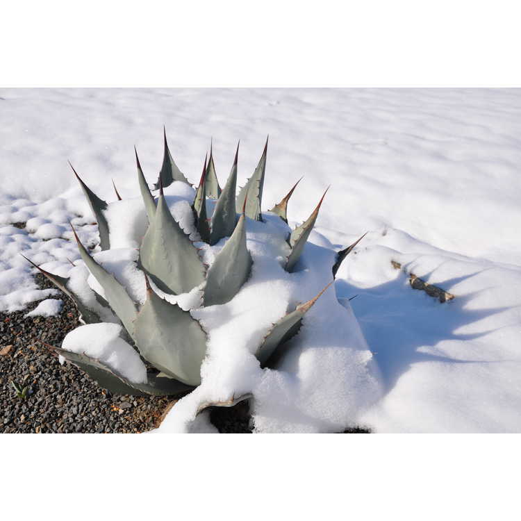 Agave flexispina