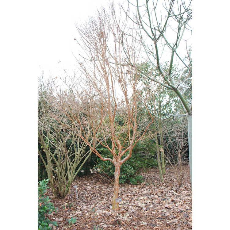 Stewartia sinensis var. sinensis - east China stewartia