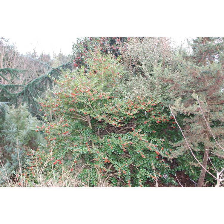 Ilex 'Dorothy Lawton' - Dodd hybrid evergreen holly
