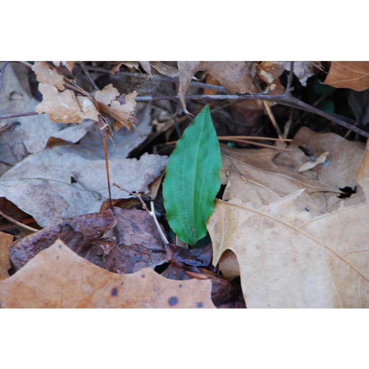 Tipularia discolor - crippled cranefly