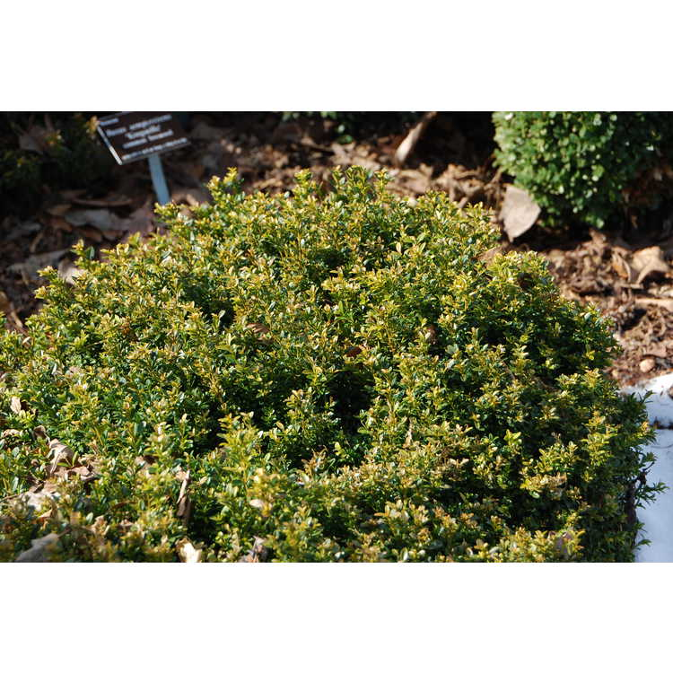 Buxus microphylla 'Curly Locks' - littleleaf boxwood