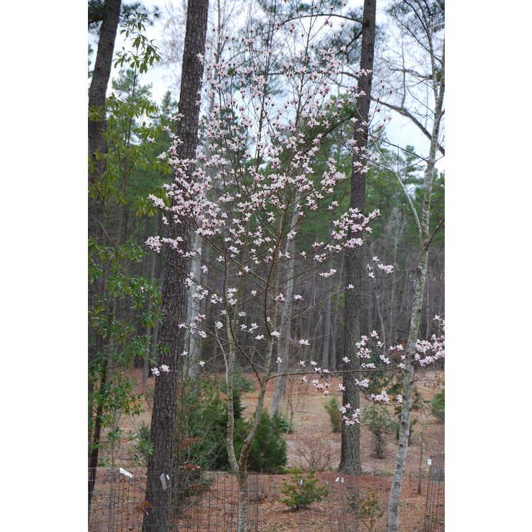 Magnolia zenii - Zen magnolia