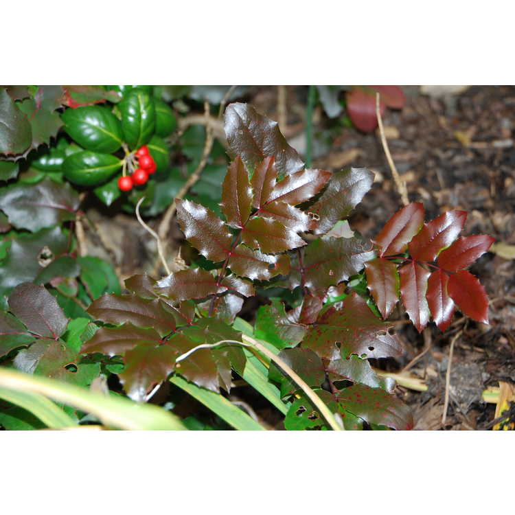 Mahonia aquifolium 'Orange Flame' - Oregon grapeholly